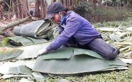 10 năm đi hái lá chuối rừng, mỗi ngày lãi 600-700 ngàn đồng