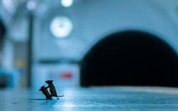 Bức ảnh hai chú chuột tí hon đánh nhau dưới ga tàu điện ngầm để giành giật thức ăn đoạt giải thưởng nhiếp ảnh của năm