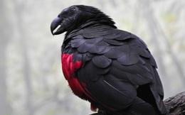 Chiêm ngưỡng loài vẹt có thần thái vương giả, cực ngầu như bá tước Dracula trong truyền thuyết
