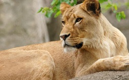 Đàn chó hoang đuổi giết hai mẹ con sư tử