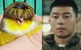 Chú chim nhỏ gây bão mạng vì sở hữu mái tóc y chang nhân vật trong phim 'Tầng lớp Itaewon'