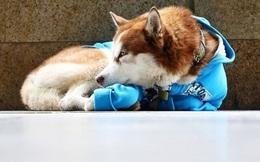 Câu chuyện về 'Hachiko của nước Nga': Chú chó Husky mặc tấm áo xanh, ngày ngày nằm ngoài vỉa hè giá rét chờ chủ đi làm về