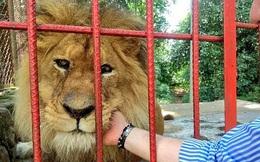 Con sư tử gầy rộc, hốc hác đến mức lộ cả xương sườn và không thể đứng dậy nổi sau khi phải rời xa người chăm sóc