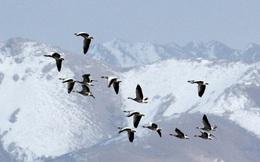 1001 thắc mắc: Loài ngỗng nào bay qua được đỉnh Everest?