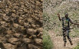 """Sau """"đàn quân vịt"""" có nguy cơ không được ra trận, Trung Quốc dự định đưa gần 50 loại nấm biến đổi gen đối đầu với 400 tỷ """"giặc"""" châu chấu"""