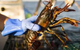 Không chỉ ở Việt Nam, corona khiến tôm hùm cần được giải cứu trên toàn thế giới