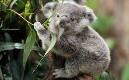 Giải mã bí ẩn: Loài động vật nào ngủ 22 tiếng mỗi ngày, được mệnh danh loài vật lười bậc nhất thế giới