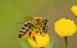 Nghiên cứu mới: Hoa có thể nghe và tiếng vỗ cánh của ong khiến mật ngọt hơn