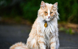 Chú mèo 'vương giả' sở hữu 30.000 người hâm mộ và được tôn vinh như ông hoàng tại quê nhà