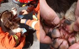 Chú chó bị nhiễm trùng nặng vì liên tục giải cứu nạn nhân mắc kẹt trong vụ sập khách sạn ở Trung Quốc, người chủ đau lòng rơi nước mắt
