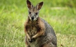 1001 thắc mắc: Kì dị, vì sao chuột túi Wallaby chưa đẻ con đã lại mang thai?