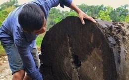 Sẽ bán đấu giá cây gỗ lim trăm tuổi do nông dân mò ốc tìm thấy