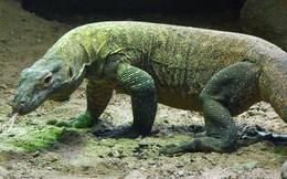 1001 thắc mắc: Vì sao rồng Komodo cái 'đoản mệnh' hơn con đực?