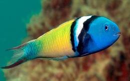 1001 thắc mắc: Loài cá nào chỉ mất 20 ngày để chuyển giới từ cái thành đực?