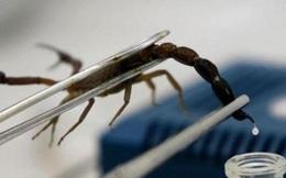 Giải mã bí ẩn loài bọ cạp tử thần chứa nọc độc có giá trị tiền tỷ nhưng không phải ai có tiền cũng mua được