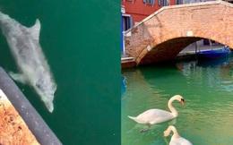 Sự thật về hình ảnh nước Ý sạch đẹp ngỡ ngàng giữa dịch Covid-19, thiên nga và cá heo xuất hiện bơi lội ở kênh đào Venice