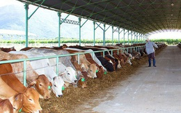 Bầu Đức liên quan dự án nuôi bò tại Hà Tĩnh