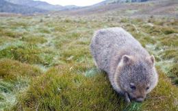Những sự thật về loài Wombat mà không phải ai cũng biết