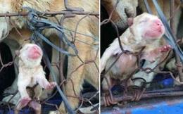 Hình ảnh chú chó vừa sinh chưa kịp mở mắt đã nằm trong lồng đưa đến lò mổ cố nhoài người tìm lấy hơi ấm chó mẹ khiến ai nhìn cũng phải xúc động