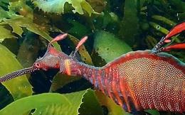 Phát hiện cá rồng biển cực hiếm ở Tasmania, Australia