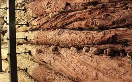 Cây thông hé lộ nguyên nhân diệt vong của nền văn minh 3.500 năm tuổi