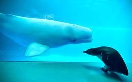 """Cuộc gặp gỡ hiếm có khó tìm mà """"yêu không chịu nổi"""" của đại diện Nam Cực và Bắc Cực: Chim cánh cụt đi lang thang trong thủy cung đóng cửa bắt gặp cá voi trắng"""