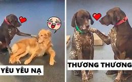 """Cún cưng trở thành """"ngôi sao nhà trẻ"""" vì chuyên đi xoa đầu các bạn chó vẫn còn bỡ ngỡ"""