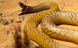 1001 thắc mắc: Loài rắn nào có nọc độc giết chết 100 người cùng lúc?