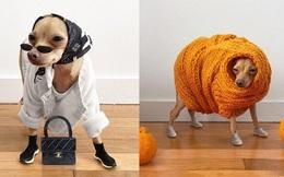 Gặp gỡ chú chó Chihuahua sành điệu nhất thế giới:  Diện đồ hiệu như fashionista thực thụ và có gần 100.000 người hâm mộ trên mạng xã hội