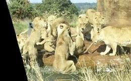9 con sư tử cái lập hội, điên cuồng lao vào cắn xé con đực đầu đàn đơn độc