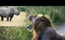 Tê giác 'phá' giấc ngủ của sư tử