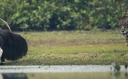 Thú ăn kiến khổng lồ dễ dàng thoát thân trước móng vuốt của báo đốm: Cuộc kỳ ngộ khó hiểu