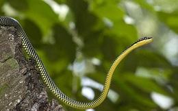 Giải mã bí ẩn loài rắn không có cánh mà vẫn biết bay