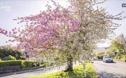 Cận cảnh cây anh đào gần 70 năm tuổi ở Anh nở hoa hai màu