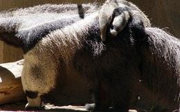Giải mã bí ẩn vũ khí đặc biệt của thú ăn kiến khổng lồ khiến báo đốm khiếp sợ