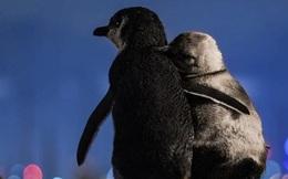Khoảnh khắc đôi chim cánh cụt khoác vai nhau, cùng thưởng thức bầu trời đêm lung linh đầy lãng mạn và câu chuyện tình buồn phía sau
