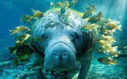 """Giải mã bí ẩn: Tại sao """"gã khổng lồ"""" lợn biển không có kẻ thù dưới đáy đại dương?"""