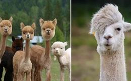 """Chiêm ngưỡng hội lạc đà """"cảnh"""" với tóc tai ăn chơi gấp 10 lần con người"""