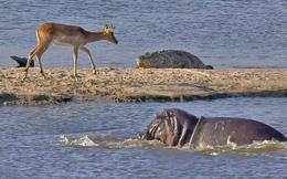Cá sấu khổng lồ vừa săn được linh dương thì hà mã hung hãn lao vào cướp mồi
