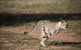1001 thắc mắc: Vì sao báo đốm đạt tốc độ 'thần thánh' 100km/h mà vẫn săn mồi được?