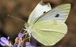 1001 thắc mắc: Vì sao bướm chỉ sử dụng chân để nếm mật hoa?