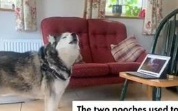 """Đáng yêu 2 chú chó """"tán gẫu"""" qua máy tính trong thời gian cách ly"""