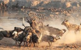 1001 thắc mắc: Vì sao chó hoang châu Phi được coi là 'thợ săn đỉnh nhất'?