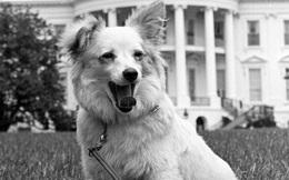 """Chú chó Pushinka: """"Sứ giả hòa bình"""" ở Nhà Trắng giúp Nga-Mỹ tránh cuộc chiến """"một mất một còn"""""""