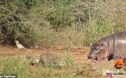 """Hà mã con hiếu chiến """"tả xung hữu đột"""" giữa bầy cá sấu nhưng lại sợ khi gặp phải trâu rừng"""