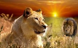 1001 thắc mắc: Có phải sư tử đực lười, sư tử cái chăm?