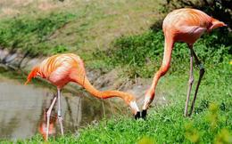 1001 thắc mắc: Có phải chim hồng hạc luôn 'sống chết có nhau'?