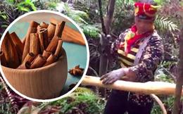 Từng là món ăn vặt khoái khẩu của tuổi thơ nhưng ít ai biết cây quế thơm lừng ngày ấy lại được thu hoạch thế này