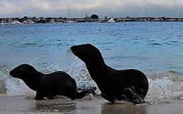 """Video: Hai chú sư tử biển """"chạy cong đuôi"""" khi bị sóng đánh"""