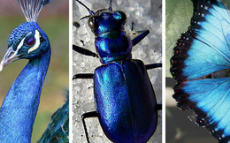 Chỉ tồn tại một loài vật duy nhất trên đời có màu xanh lam - vì sao sắc màu này lại hiếm đến vậy? Đây là câu trả lời